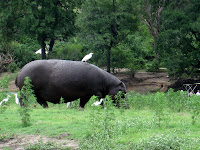 Hippos in Chobe