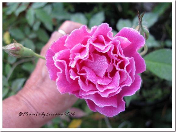 12-14-carnation3