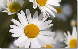 margaritas flores (19)
