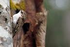 LE BIEN NOMME  Le Grimpereau des bois grimpe le long des troncs à la recherche d'insectes cachés derrière les écorces
