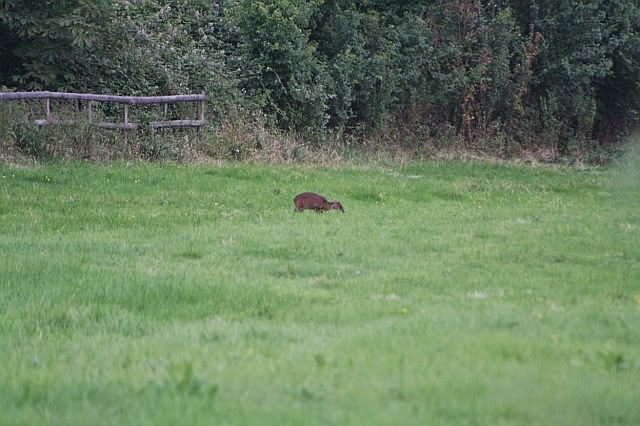 Woodhurst Wildlife Muntjac In The Grassfield - muntjac12.jpg