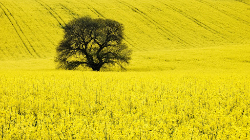 Sweet Chestnut Tree in a Oil Rape Seed Field, Wiltshire, England.jpg