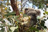 Eating koala (© 2010 Bernd Neeser)