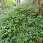 Bois de la Barre : tapis de jacinthes des bois