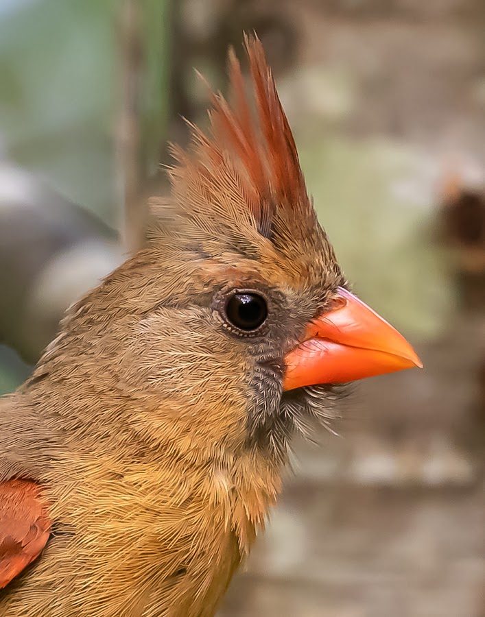 Northern Cardinal by Don Young - Animals Birds ( color, nature, northern cardinal, bird photography, cardinal, birds )