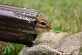 Chipmunk peeking out from the rain spout