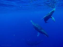 Humpbacks - Mom, baby and escort.