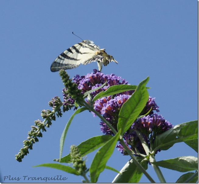 On the Buddleia 4