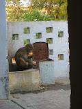 A monkey enjoys the food he's nicked!