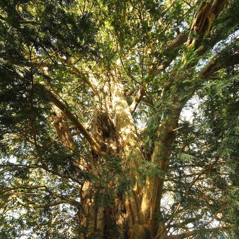 Stowe_Trees_01.JPG