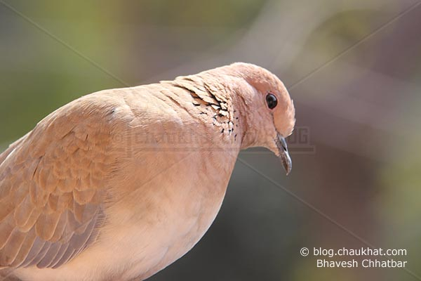 Laughing Dove [Stigmatopelia senegalensis] - Little Brown Dove looking down