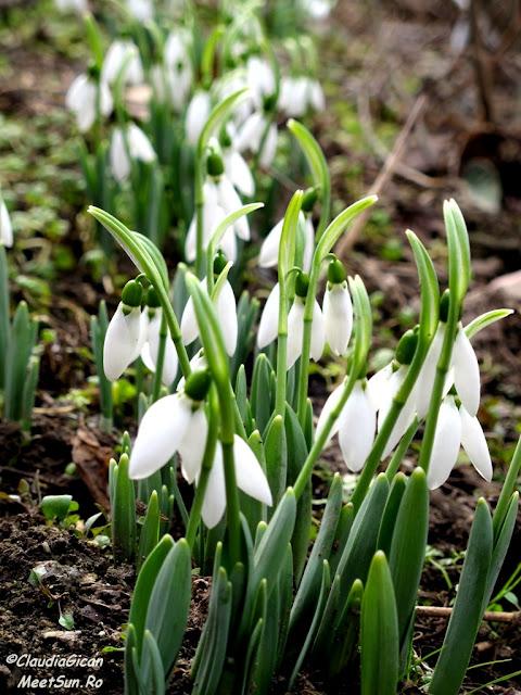 flori de primavara: ghiocei