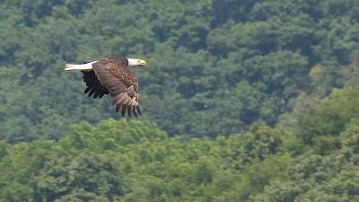Bald Eagle, Delaware River.