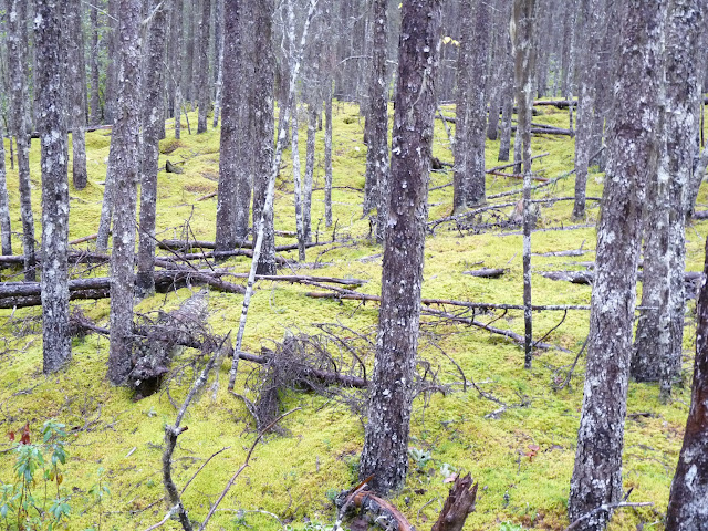 Black Spruce and carpet of moss