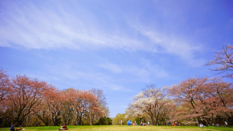 昭和記念公園 桜 写真6