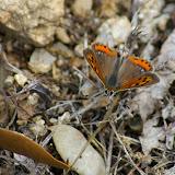 Lycaena phlaeas LINNAEUS, 1761, femelle, troisième génération. Col de Bacinu (800 m), Corse du Sud, août 2006. Photo : J.-M. Gayman
