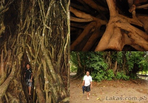 Going inside the 600 year old Balete Tree