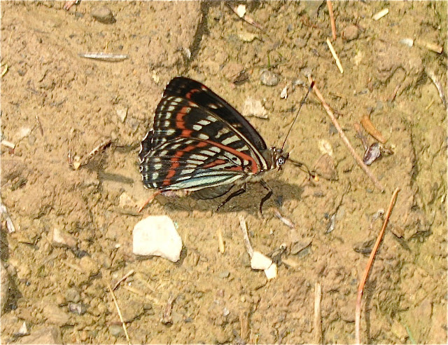 Seokia (Limenitis) pratti eximia, MOLTRECHT, 1909, endémique des Mts Sikhota Alin. 6 km au sud d'Anisimovka, 19 juillet 2010. Photo : J. Michel
