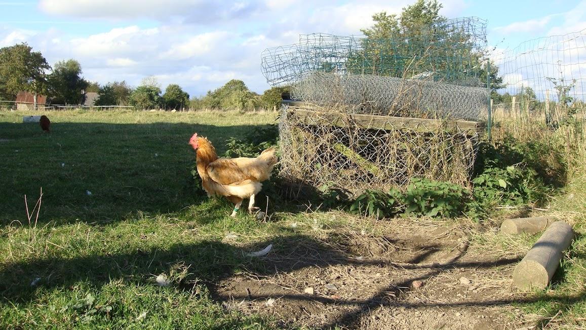 A hen at La Petite Chesnee