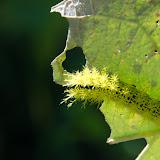 Probablement chenille d'Hemileucinae (Saturniidae). Yungas (Bolivie), 15 octobre 2012. Photo : C. Basset