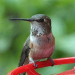 2013_04_30_Hummingbirds