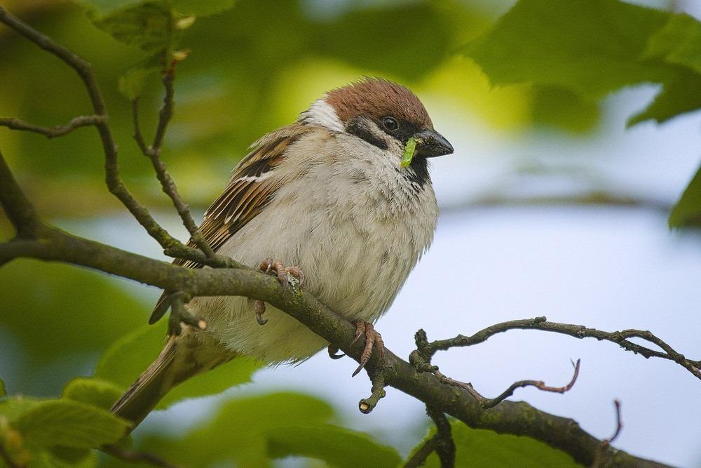 tree-sparrow-2