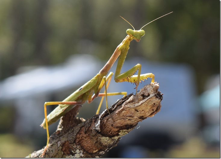 Praying Mantis-1
