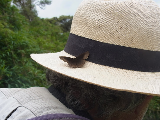 Panyapedaliodes drymaea drymaea (Hewitson, 1858). La Trinidad, 3000 m (Guasca, Cundinamarca, Colombie), 12 novembre 2015. Photo : C. Thoumyre