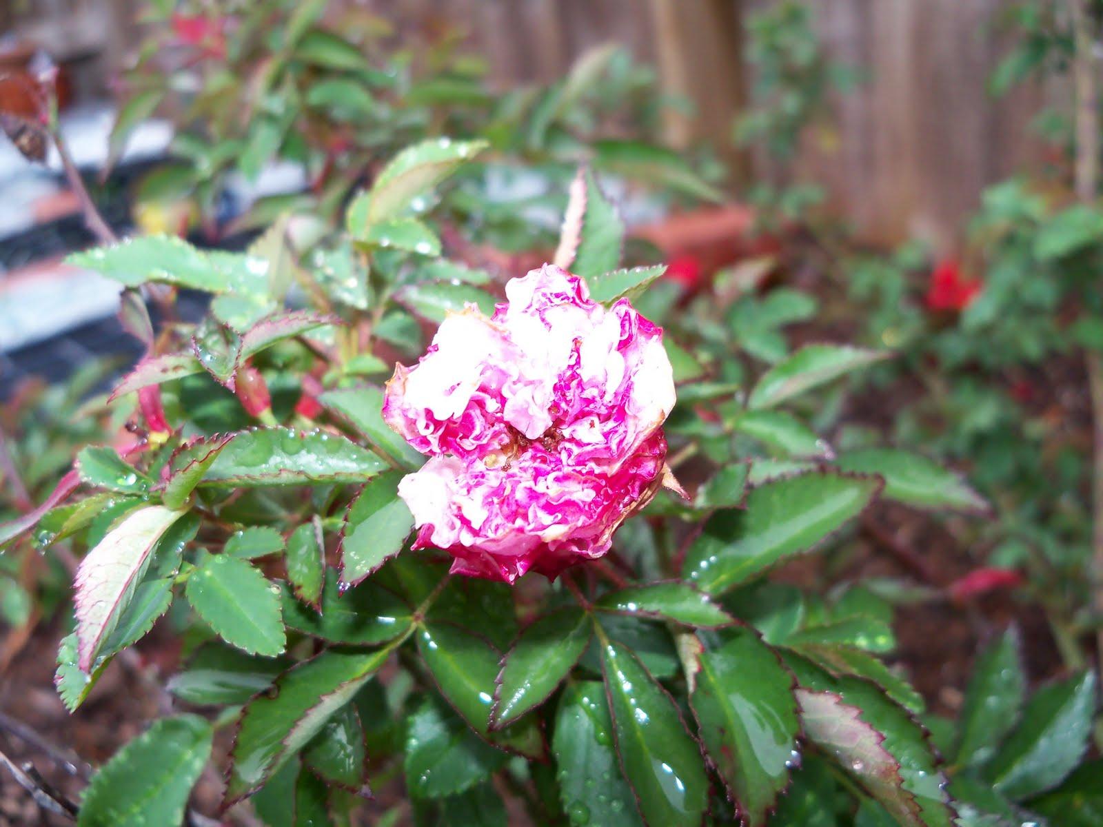 Gardening 2010 - 101_0533.JPG