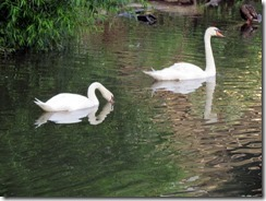 Swans at Lake J
