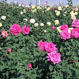 cultivo de plantas florales perennes - 100_0890.JPG