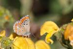 Aricia agestis4.jpg