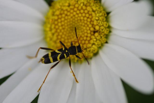 Cerambycinae : Clytus arietis (L., 1758). Les Hautes-Lisières (Rouvres, 28), 10 juin 2013. Photo : J.-M. Gayman