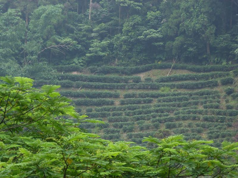 plantations de the