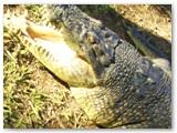 Croc at Crocolandia