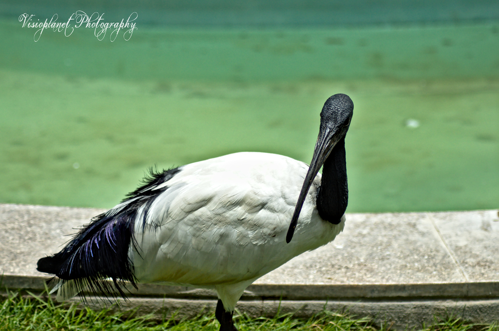The African Sacred Ibis by Sudipto Sarkar on Visioplanet