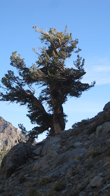 Dancing tree above Agnew Lake©http://backpackthesierra.com