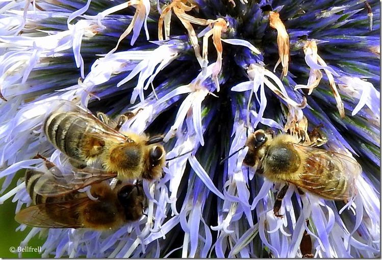 Bienendistel 4