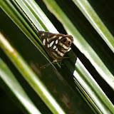 Dynamine postverta CRAMER, 1779, femelle. Pulso (Ubatuba, SP), 12 février 2011. Photo : J.-M. Gayman