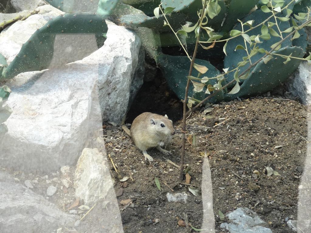 [2018.08.21-009-rat-des-sables4]