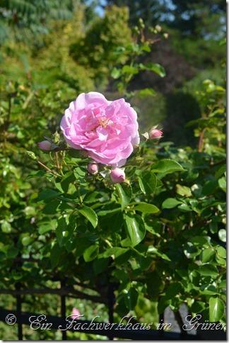 Kletterrose Jasmina, auch eine sehr schöne Rose für den Garten.