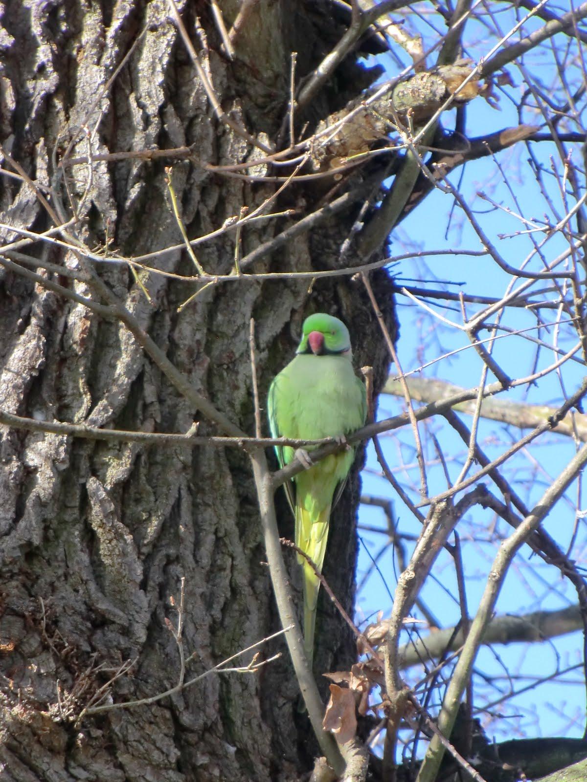 CIMG6724 A parakeet looks on
