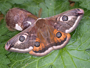 Photo: Emperor Moth (male)