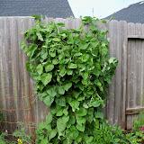 Gardening 2010, Part Three - 101_3630.JPG