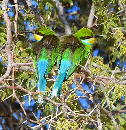 39-Swallow-tailed%252520bee-eaters%25252