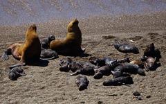 Seelöwen an der Punta Norte Valdez