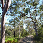 Tall open forest west of Berowra Heights (352346)