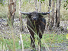 wildlife-water-buffalo-13.jpg