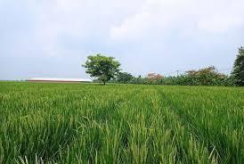 Pertanian , sawah di sukakarya masih lebar dan banyak