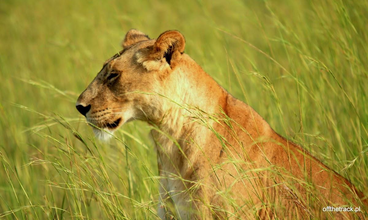 Siedząca młoda lwica z bliska w trawie na polowaniu, park narodowy Murchison Falls, Uganda